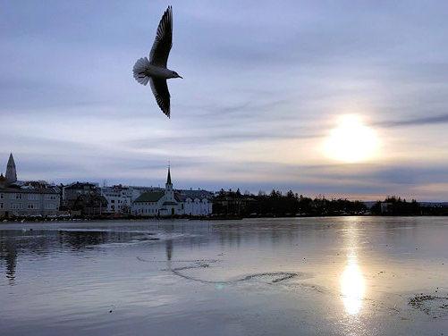 bird flying over a pond Reykjavik