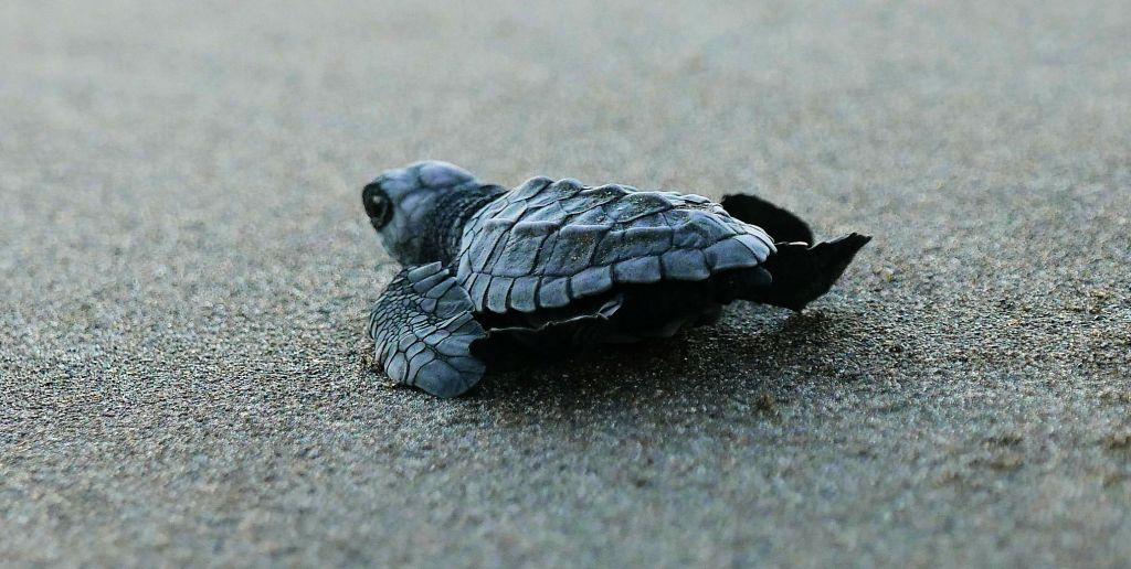 baby turtle on grey sand Costa Rica turtles