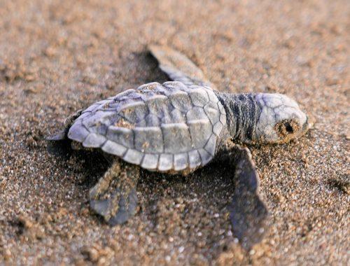 sea turtles Costa Rica