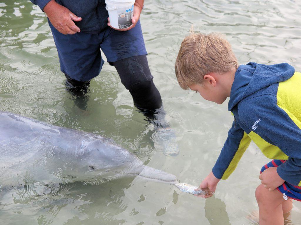 feeding a dolpin Tin Can bay queensland