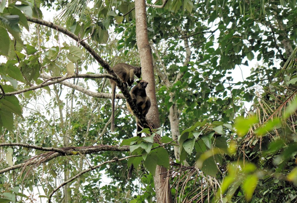 tree kangaroos playing the trees